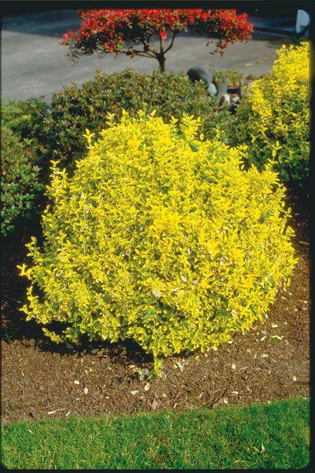 Euonymous Fortunei Emerald And Gold Landscape Plan Pinterest Front Yard Plants Garden