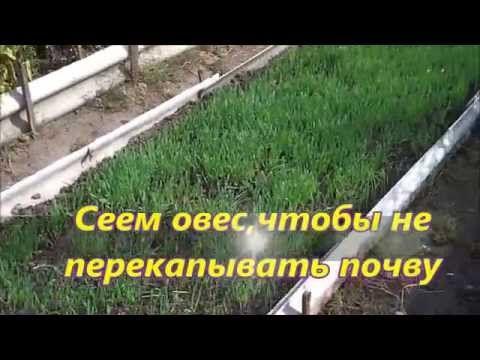 Выращивание овса в качестве растения сидерата для улучшения структуры почвы