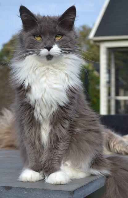 chat maine coon gris et blanc