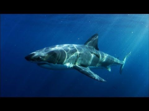 Nine foot white shark apparently eaten by larger, hungrier shark that lives deep in the ocean. WTF, right?