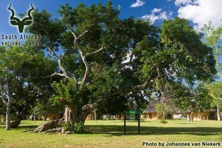 KNP - Pretoriuskop - Indaba Tree