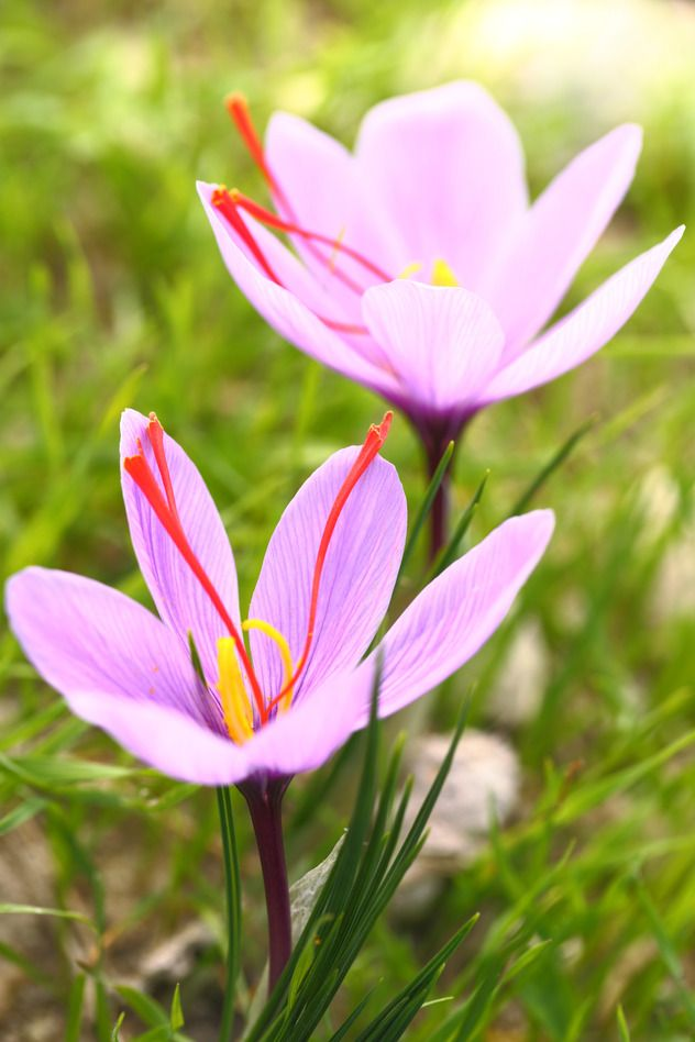 Les jolies couleurs des Crocus Sativus ... à planter en été, récolte du safran en automne, commandez les ainsi que vos cyclamens et vos colchiques sur Promesse de Fleurs: http://www.promessedefleurs.com/floraisons-automnales.html