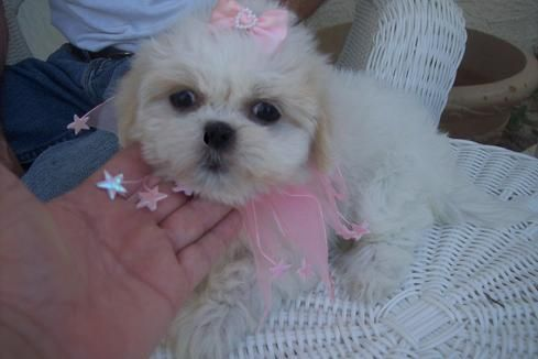 Shih Tzu Puppies |Teacup Shih Tzu | Shih Tzu for Sale | Breeder | Teacup | Miniature | Toy