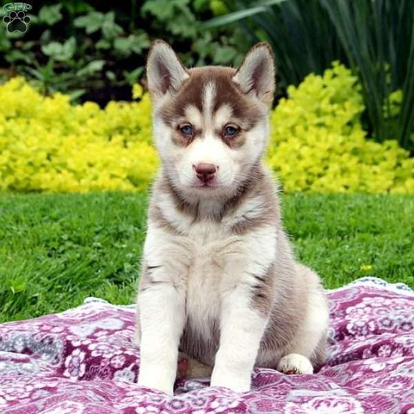 Taffy Siberian Husky Mix Puppy For Sale In Pennsylvania