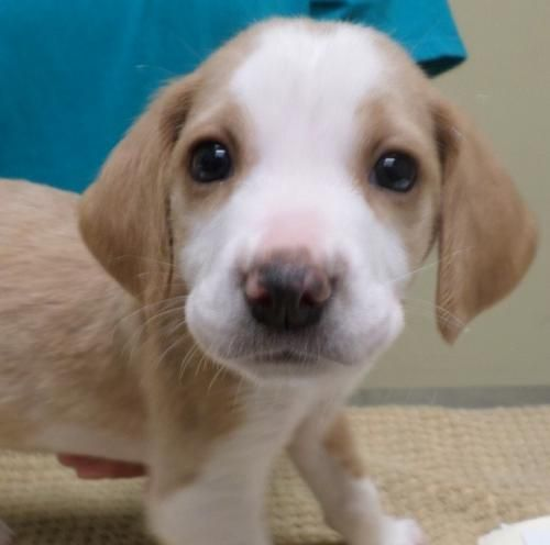 Rockin' Sonny is an adoptable Beagle searching for a forever family near Potomac, MD. Use Petfinder to find adoptable pets in your area.
