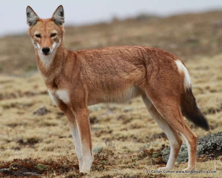 Among all carnivores, the Ethiopian Wolf is the most endangered, with only 400 to 600 remaining!
