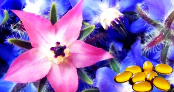 Olio di Borragine. Uno dei più potenti integratori per la pelle, artrite, disturbi mestruali e menopausa