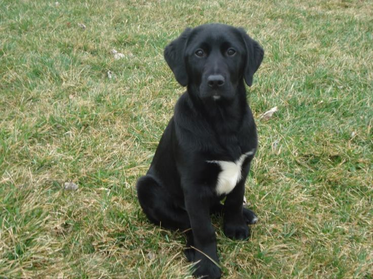 black lab border collie mix google search dogs