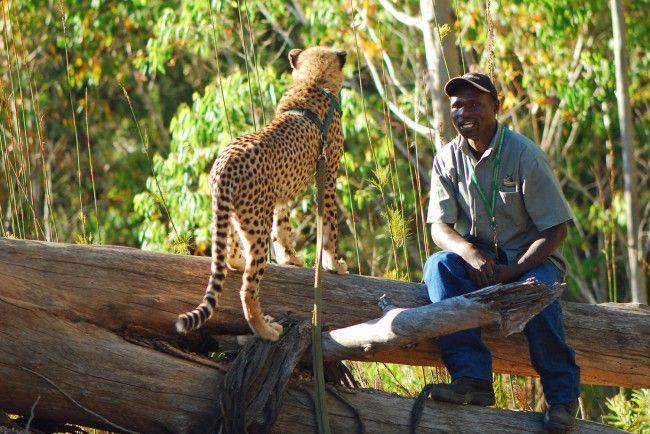 Cheetah walks at the Tenikwa Wildlife Awareness Centre near Oudthsoorn, South Africa #dirtyboots #adventuresouthafrica