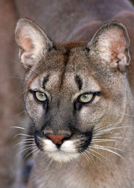 mountain lion | Flickr - Photo Sharing!