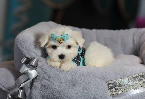 Maltese Puppies Needs New Homes Whatsapp 971581812652