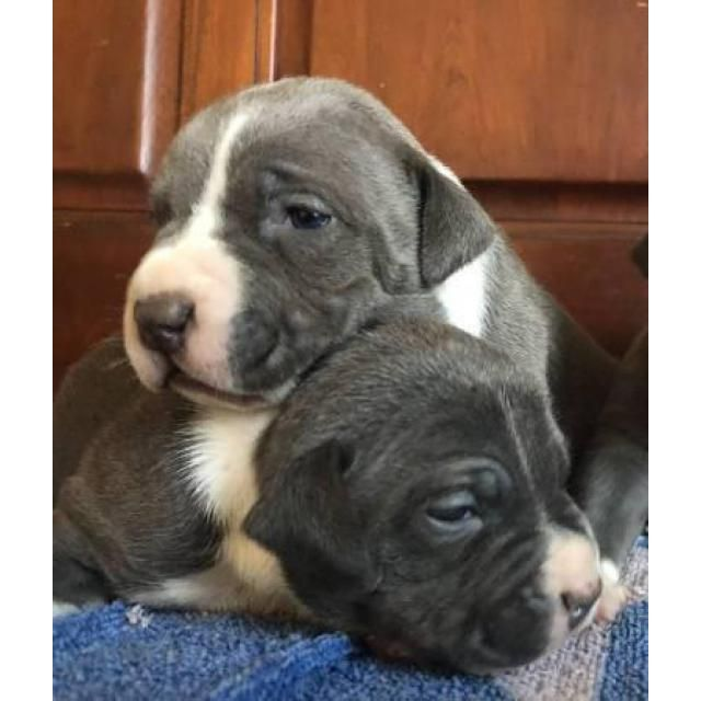 Pin On Staffordshire Bull Terrier Puppies