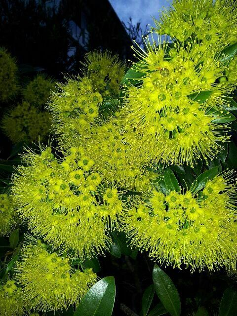 Golden wattle coming out everywhere in brisbane at the moment