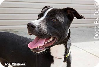Kansas City, MO - American Staffordshire Terrier/Labrador Retriever Mix. Meet Penelope, a dog for adoption. http://www.adoptapet.com/pet/15114142-kansas-city-missouri-american-staffordshire-terrier-mix