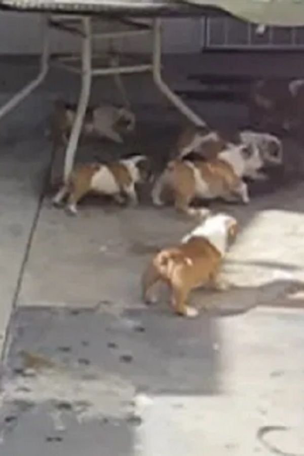 Bulldog Puppies Chasing Mom Coco S 10 Puppies Chasing Her She