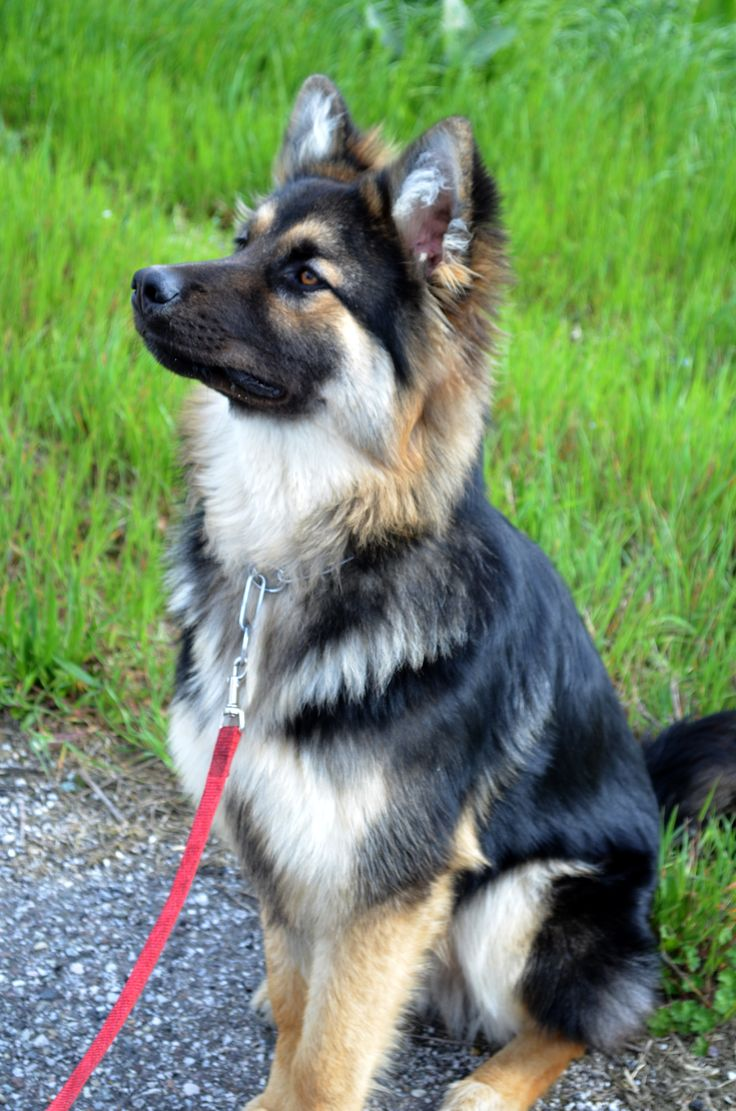 German Sheperd Husky mix