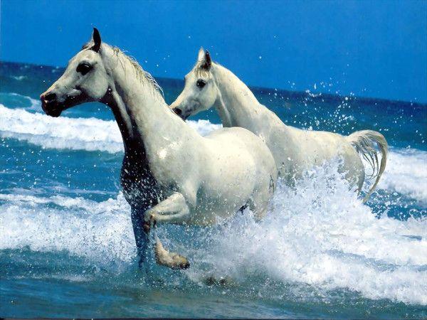Chevaux blancs : wallpaper, fond d'écran, photo