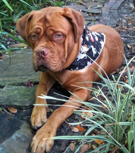 french mastiff. Looks like my puppy lol! French mastiff