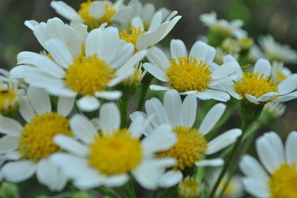 horizontal, de dia, exterior, soleado, naturaleza, flores, margaritas, planta, de cerca, primer plano, verde, muchas, fotografia, nadie, ima...