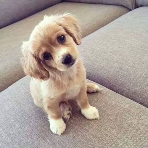 Puppy Stare cute animals dog puppy animal pets funny animals aborable
