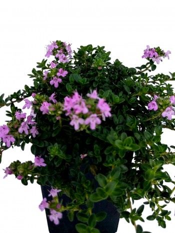 Thyme - Pink Matting Thyme