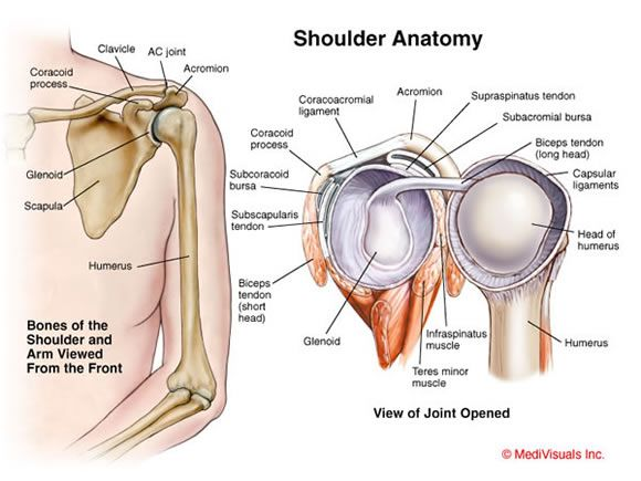 The human shoulder is a joint consisting of bones, muscles, and ligaments.  http://www.learnbones.com/shoulder-bones-anatomy/