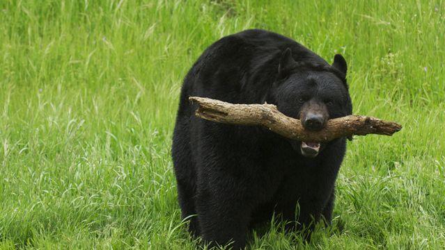 Surviving a Black Bear Attack