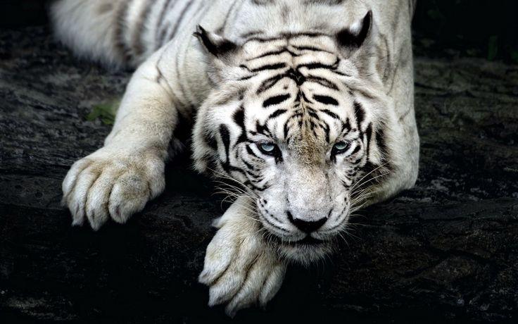 tigers white