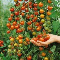 """Variété de tomate préférée de L. Hodgson: """"Sungold"""" Les semences de 'Sungold' ne coûtent pas plus cher que celles des tomates patrimoniales. La seule différence est que, quand vous avez utilisé toutes vos semences (un sachet me donne habituellement assez de plants pour 4 à 5 ans), il faut en acheter d'autres plutôt que de pouvoir récolter les semences des vôtres afin de les ressemer à tous les ans, car 'Sungold' n'est pas fidèle au type."""