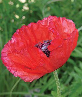 Poppy, Brilliant Red (Oriental),