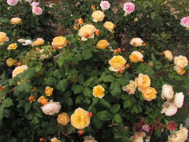 Easiest Roses To Grow Foolproof Rose Growing Guide Growing Roses Simple Rose David Austin Roses