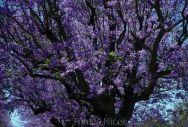 Tomáš Míček Photography Portfolio Trees of the World