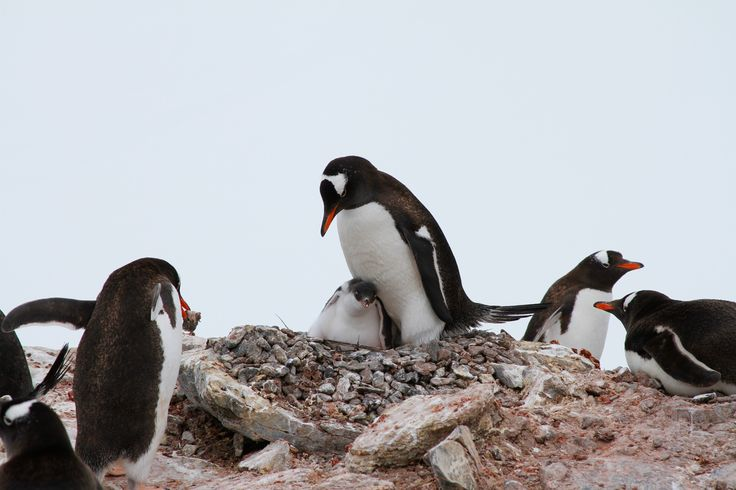Penguins are a group of aquatic, flightless birds living almost exclusively in the Southern Hemisphere, especially in Antarctica. Win a Trip to Patagonia and the Antarctic Peninsula with EcoCamp Patagonia!