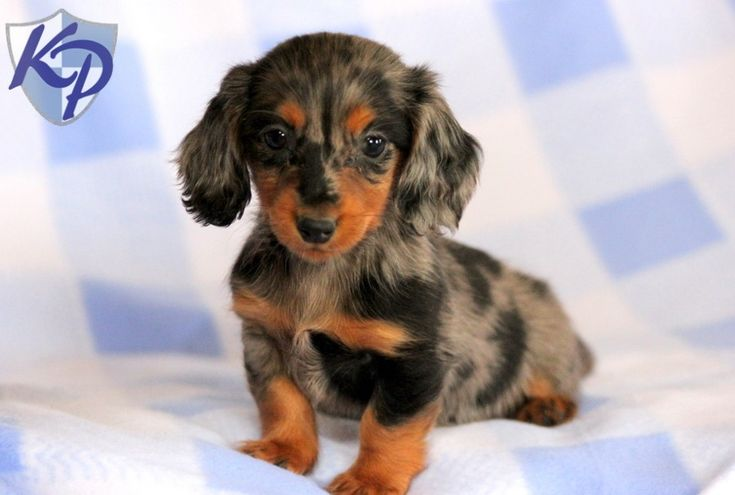 Princess – Dachshund – Miniature Puppies for Sale in PA | Keystone Puppies