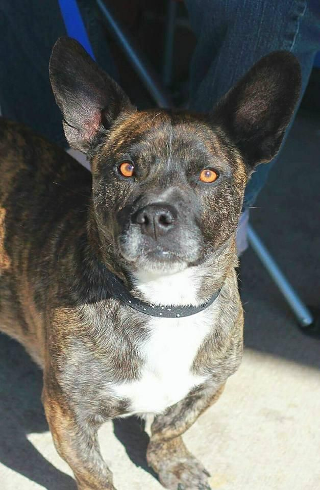 Little Roscoe - French Bulldog/ Basset Hound mix - Male - 3 yrs old - Rescue One - Springfield, MO. - http://rescueonespringfield.com/adopt/ - https://www.facebook.com/rescueonespringfield/ - http://www.adoptapet.com/pet/17786751-springfield-missouri-french-bulldog-mix - https://www.petfinder.com/petdetail/37654015