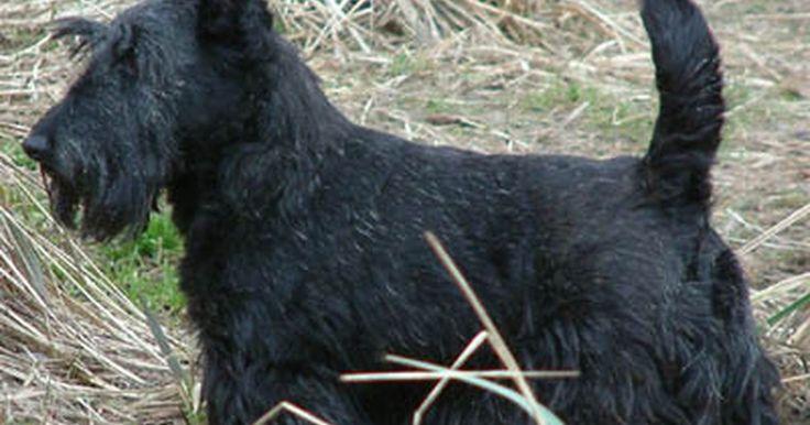 Cómo cuidar perros terrier escocés. Los terrier escocés que originalmente provienen de Escocia, son una raza pequeña que originalmente se usa para cazar zorros y tejones. Los escoceses son conocidos por ser muy independientes y tercos. Son muy protectores con sus dueños y por lo general son apegados a uno o dos dueños y actúan de forma tímida con ellos. La piel del terrier escocés a ...