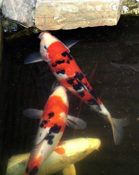How to grow koi fish successfully in your backyard koi for Koi pond next to pool