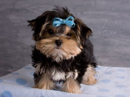 What Is The Best Dog Food For A Morkie
