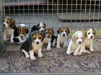 Elevage de L'écho des Fontaines - eleveur de chiens Beagle