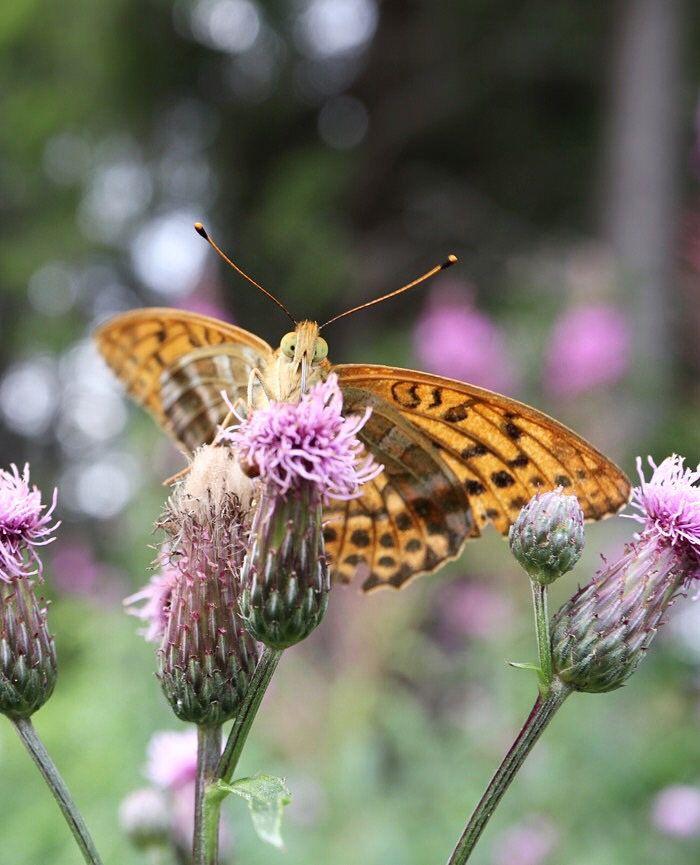 Keisarinviitta. Kovin on ilmeikäs perhonen. // Such a funny and cute butterfly!