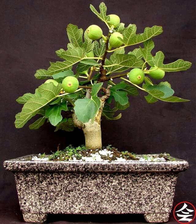Fig tree...