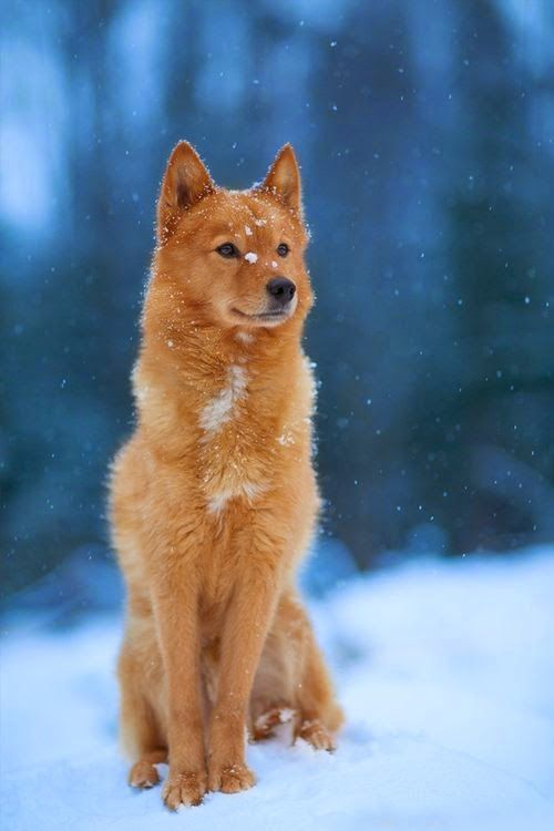 "DOGS: This agile and hardworking breed resembles a fox in many ways. The ""Finnish Spitz"" features erect ears, a dense coat, and a bushy tail, appearing in a range of colors from pale honey to deep auburn. http://www.dunway.com"