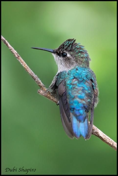 Bee Hummingbird (Mellisuga helenae) Female?? perched on a twig
