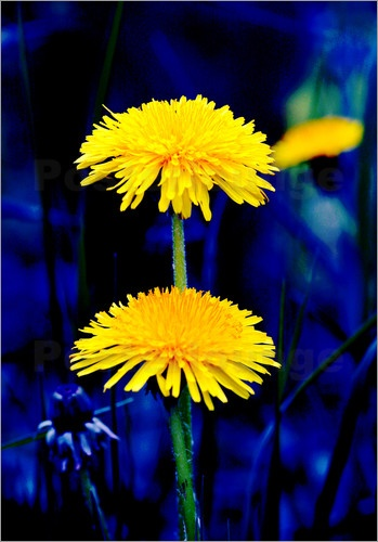 Dandelions- and yes, to me they are flowers.