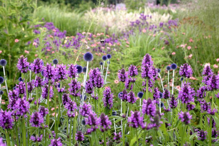 Vlinderhof | Stachys officinalis 'Hummelo'