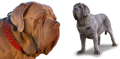 Your Dog | Neapolitan Mastiff Dog Breed Profile | Dog Breeds