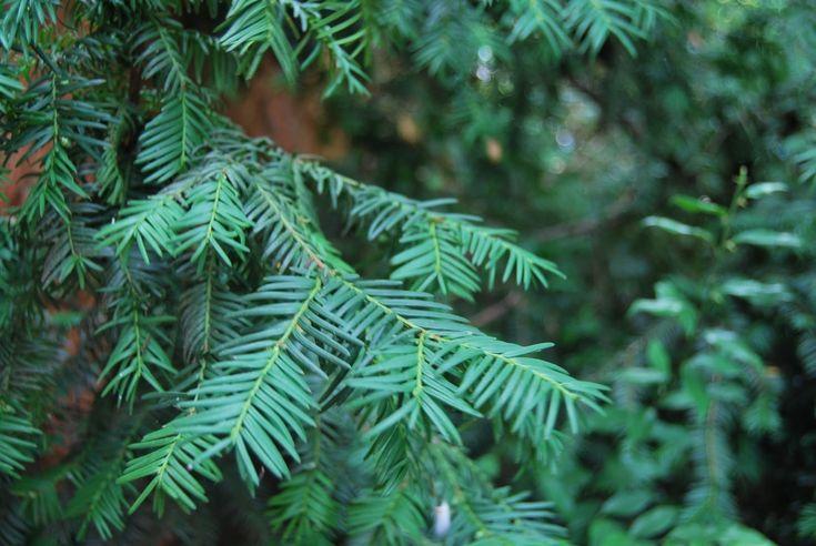 Longevo y mítico son dos de los adjetivos incuestionables de este maravilloso árbol, EL TEJO.  De aspecto frondoso, oscuro y corpulento y de crecimiento muy lento, es una especie dioica (flores de cada sexo en pies diferenciados), de hojas perennes, de apariencia dísticas y espiruladas, de colorverde oscuro. Puede llegar a vivir hasta los 1500 años.
