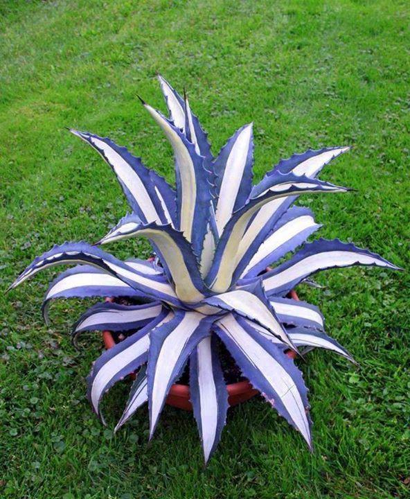 agave-americana