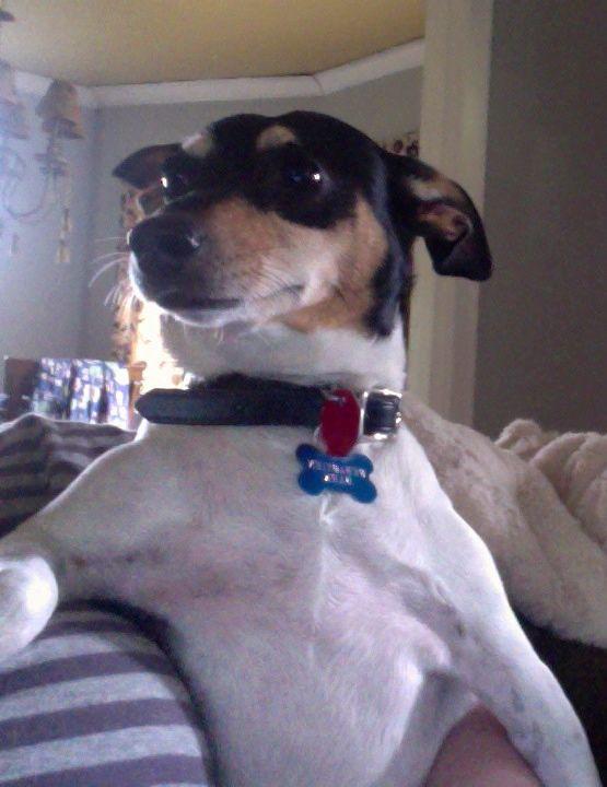 Rat Terrier Sebastain Bark chillin