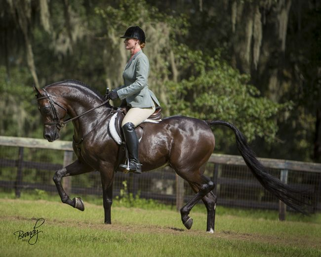 Rohara Marcus, arabian horse QR Marc x Verteyna Photo by Brandy Phillips
